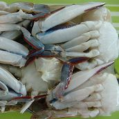 Cutted Swimming Crab